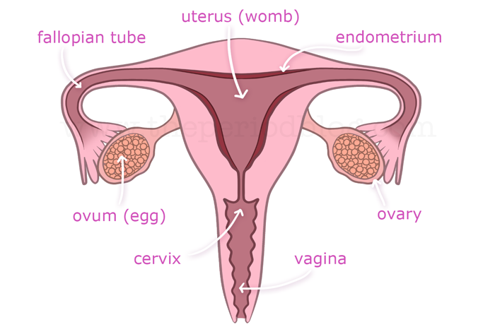 Taking Care Of Womens Health During Menstrual Blog Br